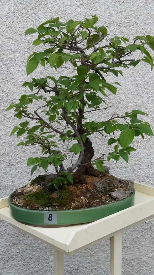 bonsai carpino nero