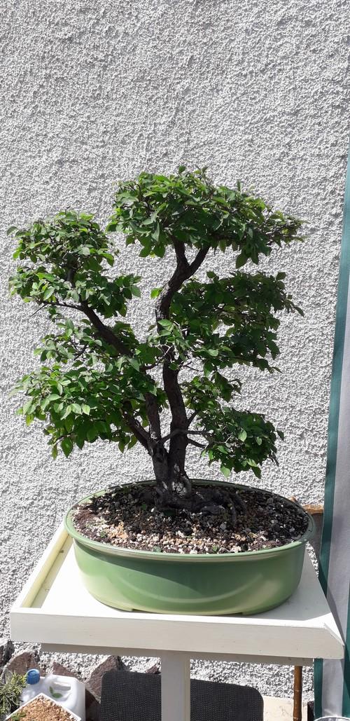 bonsai esemplare di olmo campestre