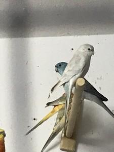 Coppia parrocchetti groppone blu
